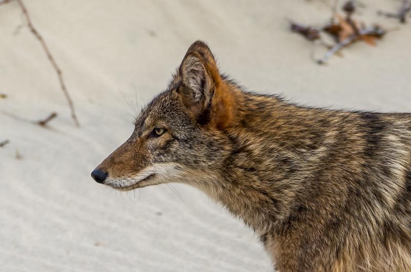 Coyote on Beach, Sandy Hook, NJ