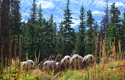 Herd of Young Bighorn Sheep