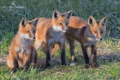 Red Fox (Vulpes vulpes) kits. Ontario, Canada