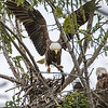 Bald Eagle Landing in Nest with Eel 5/17/16