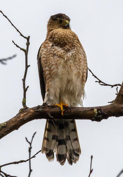 Cooper's Hawk 3/2/19