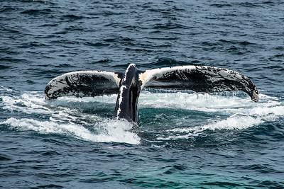 "Unique ""fingerprint"" pattern on underside of Humpback Whale Tail"
