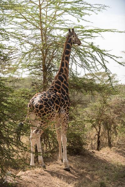 Giraffa camelopardalis camelopardalis