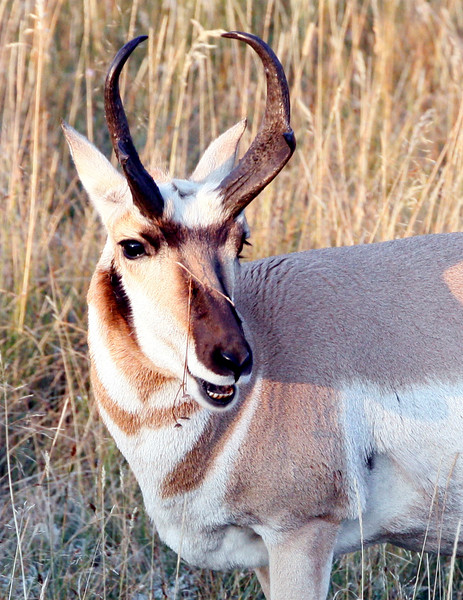 Pronghorn - Yellowstone National Park