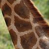Giraffe Neck, Giraffe Manor, Nairobi, Kenya, East Africa