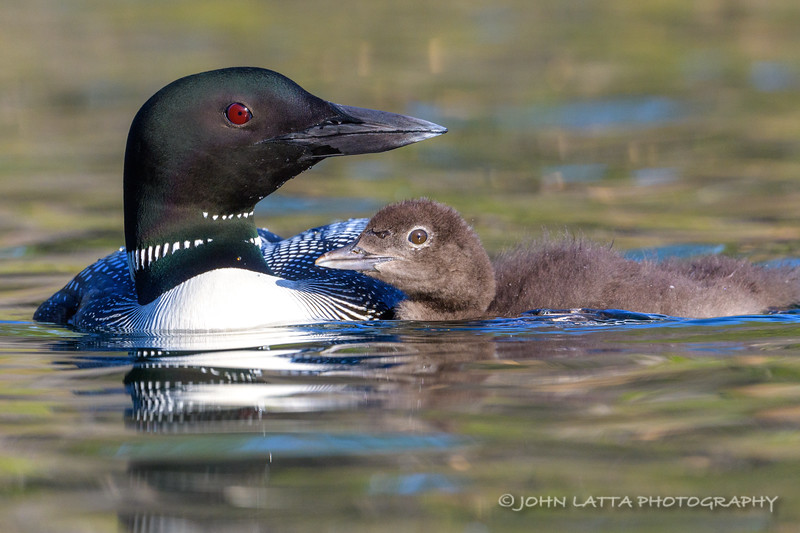 Male Common Loon with Chick