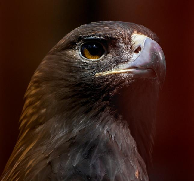 Golden Eagle Close-Up 3/1/16