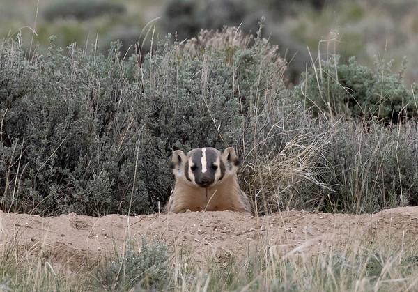 Badger | Red Desert | Wyoming