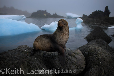 Fur seal with icebergs in background.