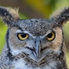 418 - Great Horned Owl