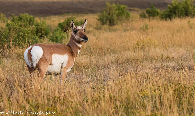 Female Pronghorn Antelope in Yellowstone NP