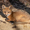 A Red Fox Kit 5/12/20