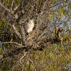Black Crowned Night Heron 690