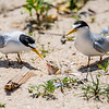 Least Tern Pair with Chicks 6/15/16