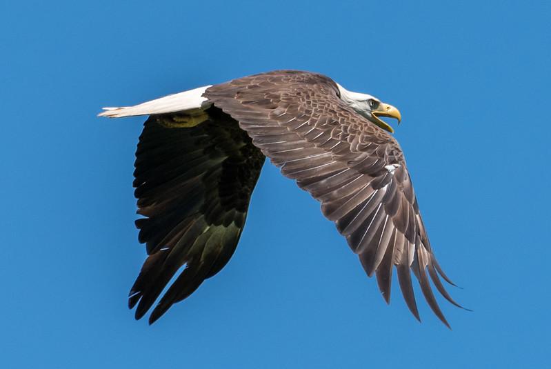 Bald Eagle in Flight 6/9/17