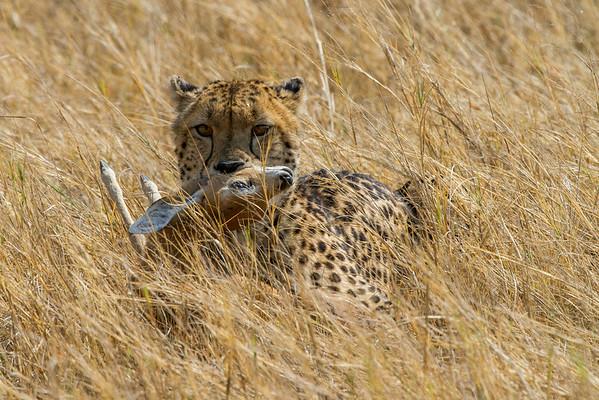 Cheetah with kill