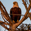Bald Eagle at Dusk 2/17/17