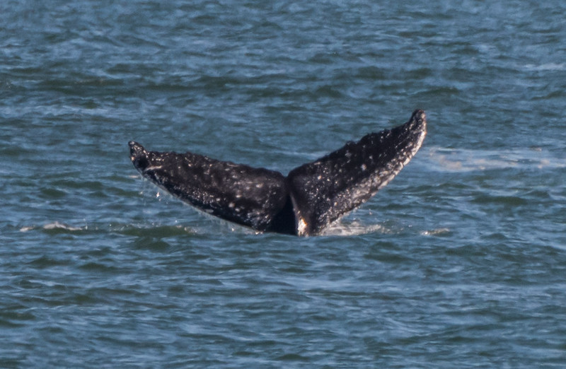Humpback Whale at Jersey Shore 11/12/16