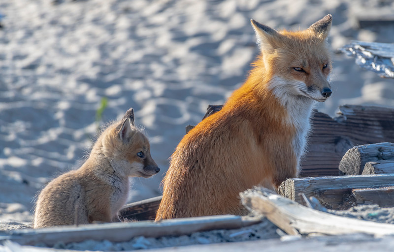 A Red Fox Kit & Mama 4/23/21