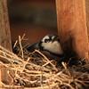 A Blue Jay's Nest