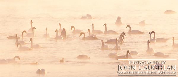 Swans2a