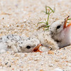 Least Tern Chicks 6/15/16