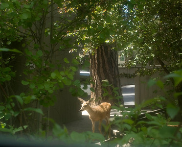 deer-in-courtyard_DSC2644