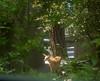 deer-in-courtyard_DSC2644