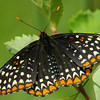 Baltimore Checkerspot, Indiana