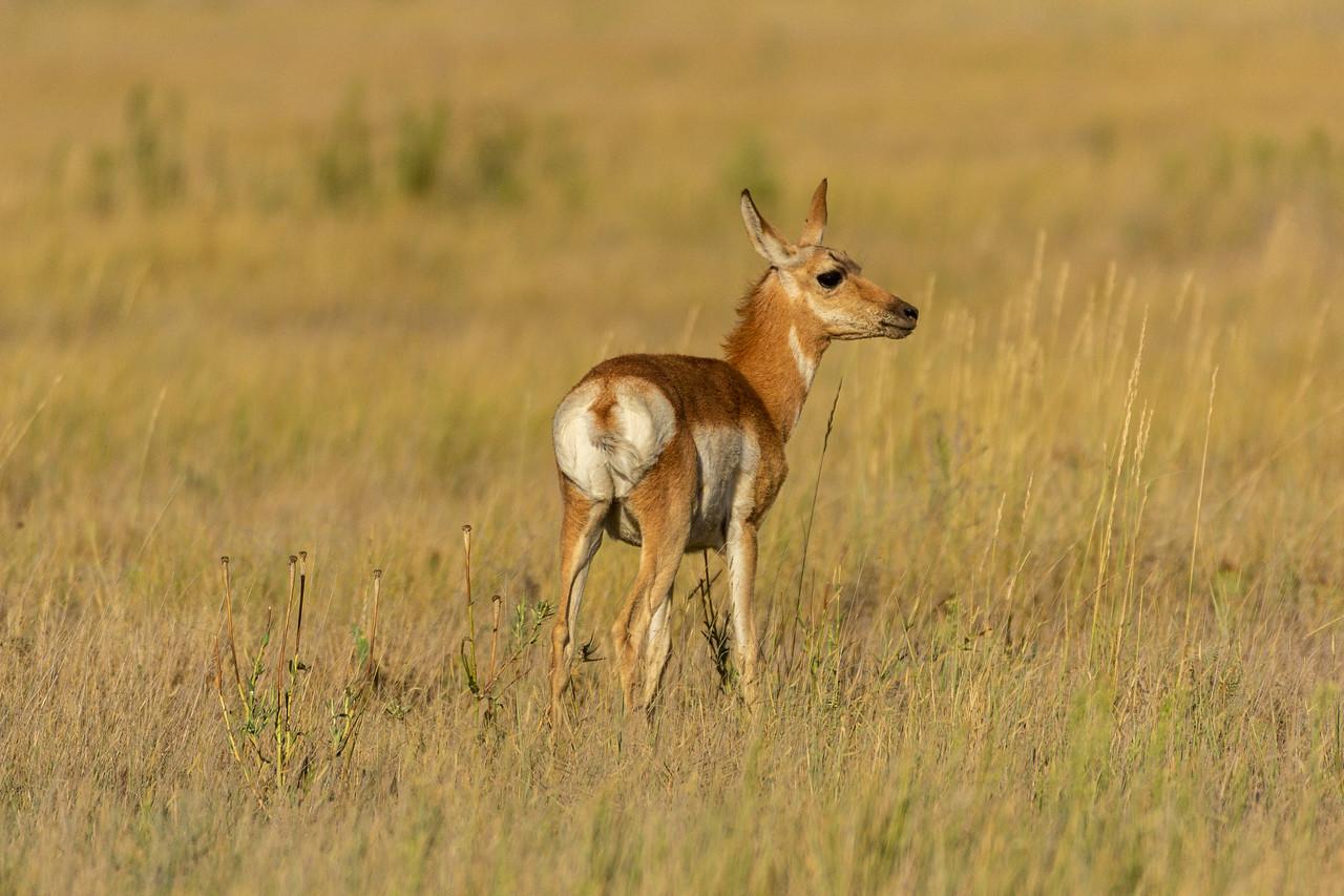 Pronghorn Antelope, doe, Pawnee National Grasslands, Colorado Summer