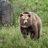 Grizzly Bear strolling in the grass