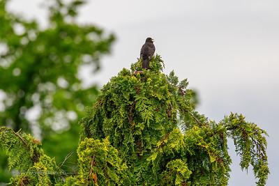 Black bird singing on top of his beloved tree.