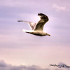 Seagull In Flight - Brooklyn, New York