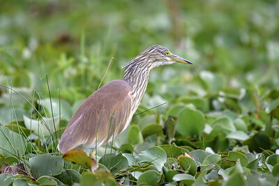 Heron, squacco (spp. paludivaga)