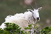 Mountain Goat. Utah