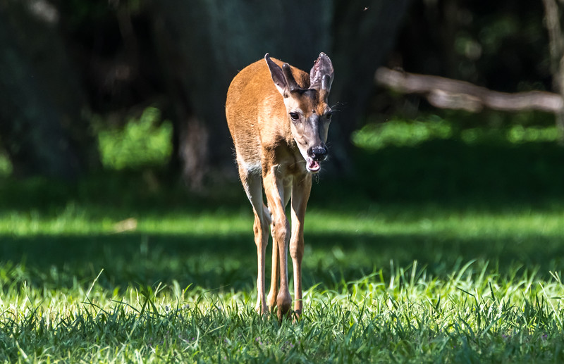 Young White-Tailed Deer 6/23/17