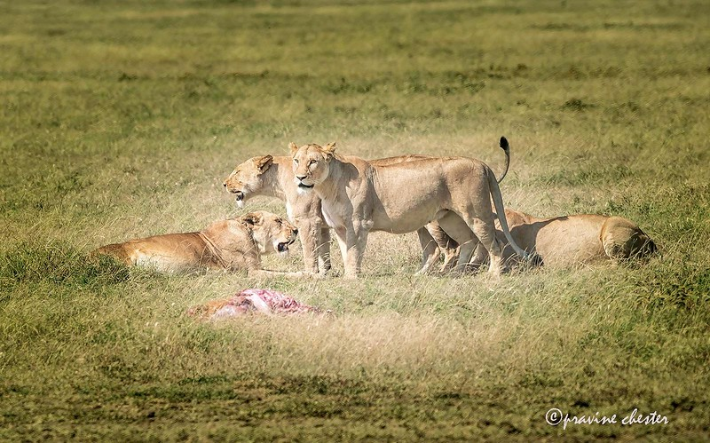 Lions with their meal