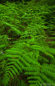 Helechos de Doñana / Ferns of Doñana