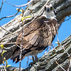 Osprey Perched in Tree 4/20/16