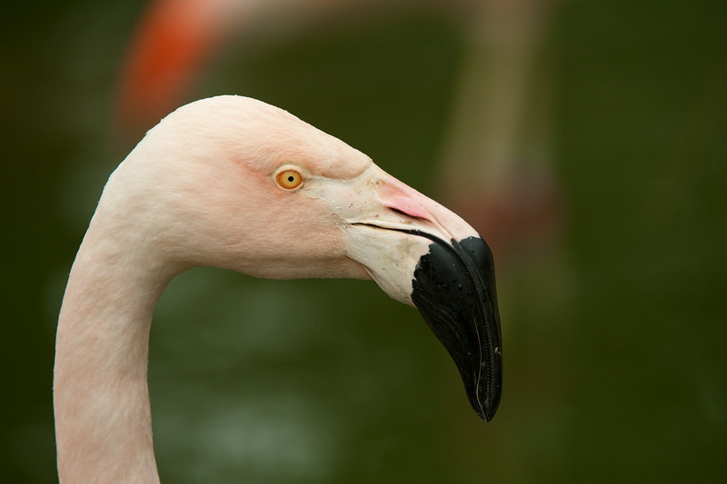 Flamingo Glance