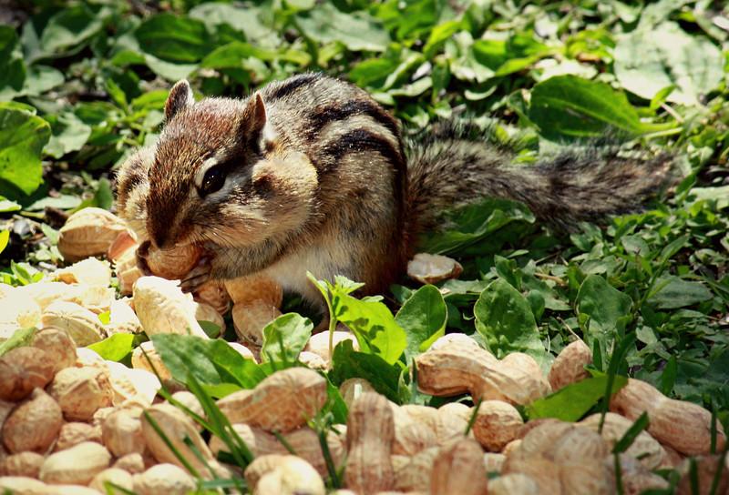 Nut Glut