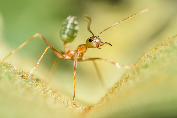 Green Tree Ant