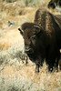 Bison, Teton National Park, WY