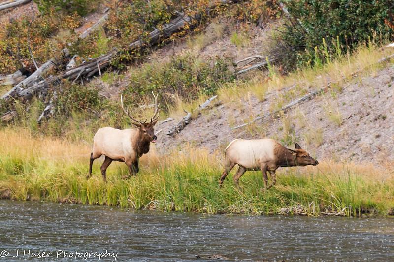 Bull Elk chasing female elk along Madison river