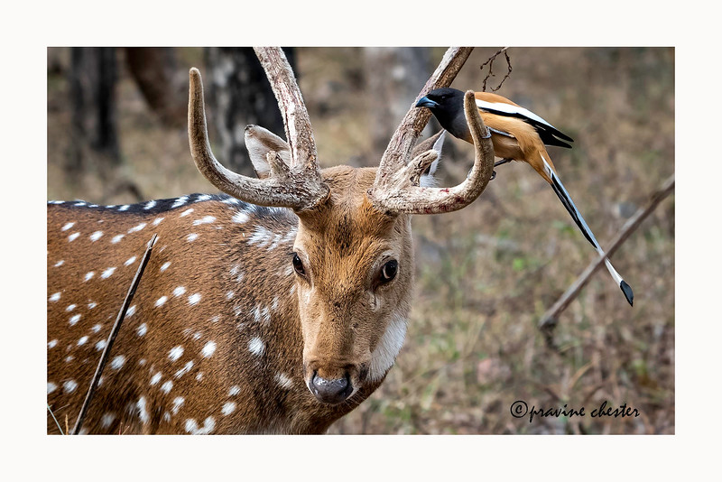 Spotted deer and the bird