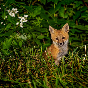Blue Ridge Mountain Red Fox