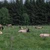 Roosevelt Elk, Redwoods National Park, Northern California