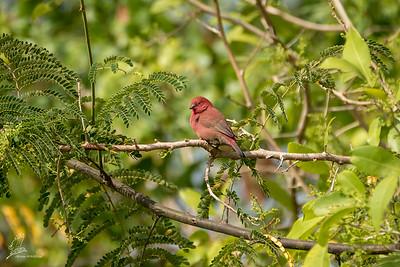 Firefinch, Red-billed (ssp. ruberrima)
