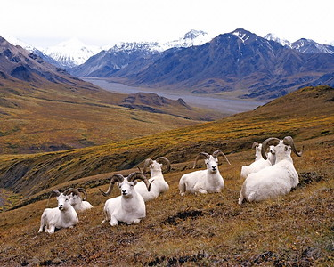 Dall Sheep on Denali Mountainside