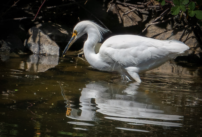 Snowey Egret & Reflection 1